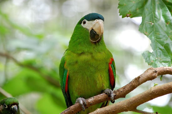 Papegaai dwerg ara's